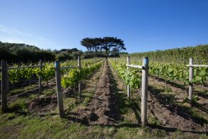 Scilly Vineyard